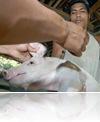vaksinasi babi